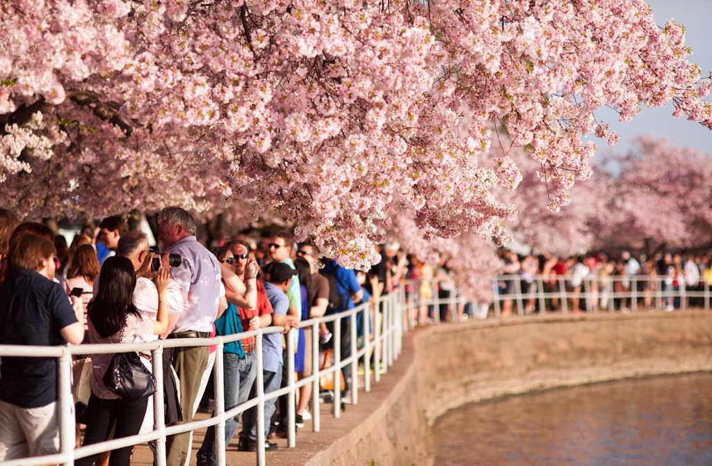 5 điều cần biết về lễ hội hoa anh đào ở Washington Dc