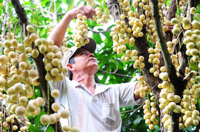 Vườn dâu Hạ Châu ở Phong Điền