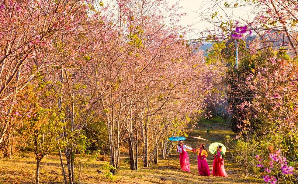 du lịch tây nguyên mùa hoa anh đào