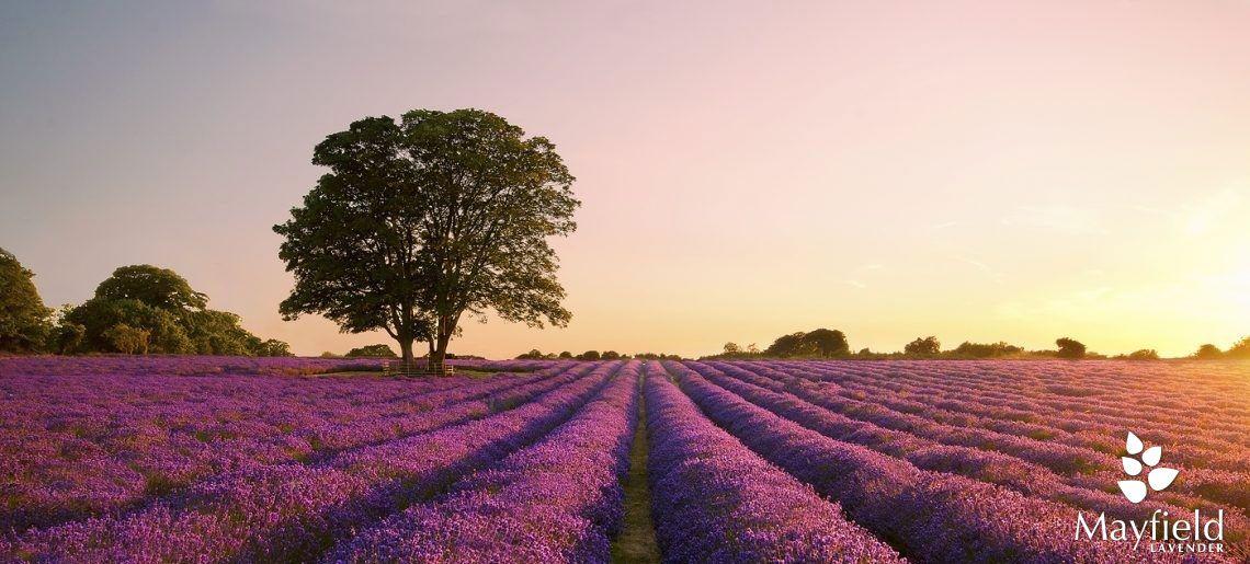Cánh đồng hoa oải hương Mayfield
